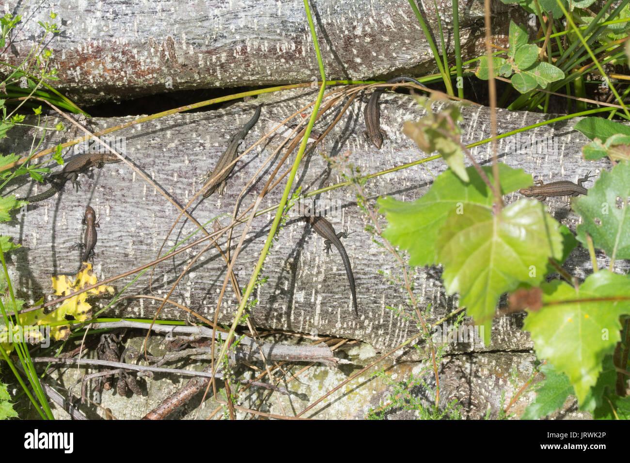 Mehrere Jugendliche gemeinsame Eidechsen, auch genannt lebendgebärenden Echsen (Zootoca Vivipara) Aalen auf einem Haufen anmelden Stockfoto