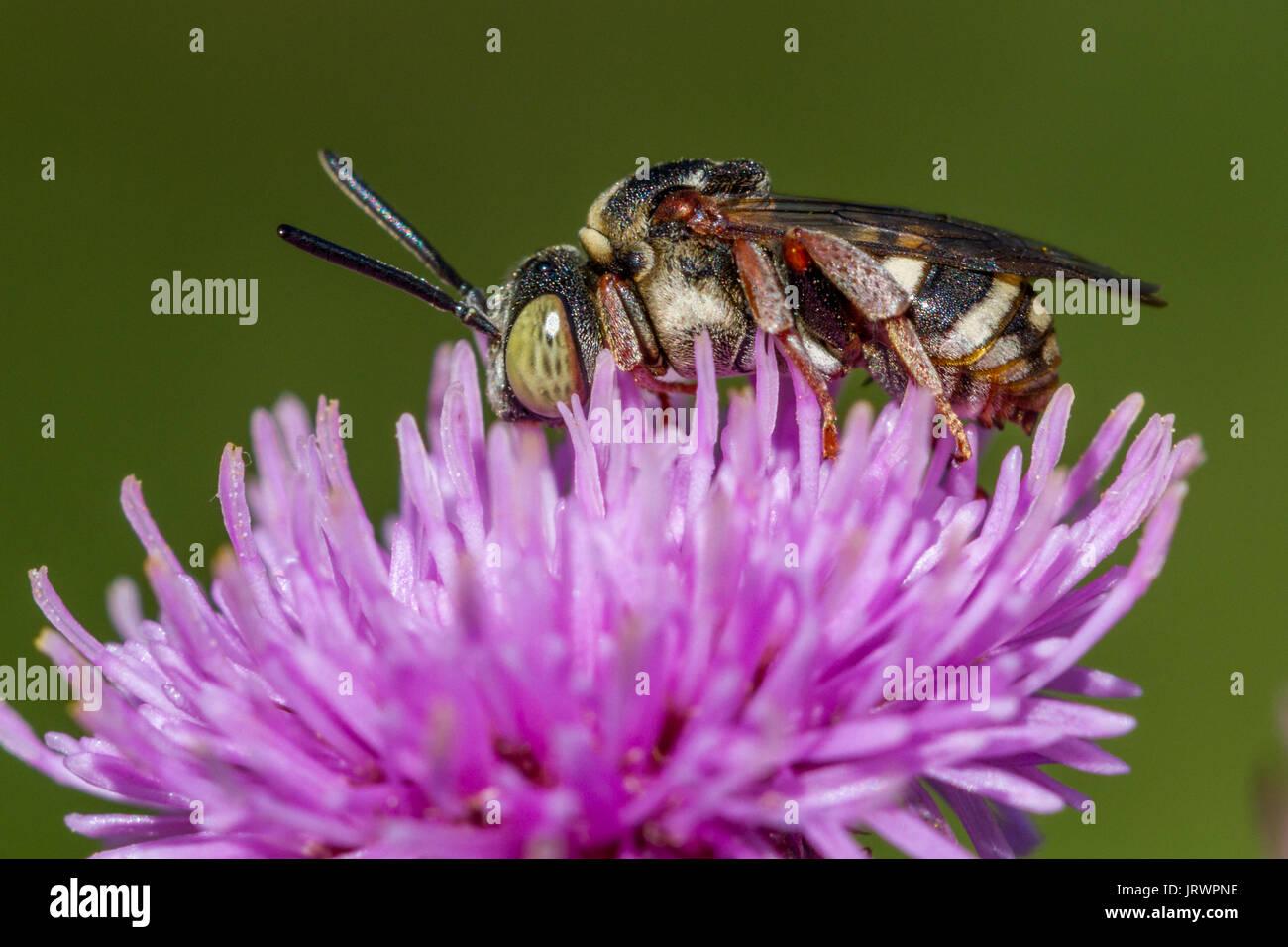 UK Wildlife: Epeolus variegatus, eine schöne einsame Biene die cleptoparasitic ist, Burley Moor, Ilkley, West Yorkshire, England Stockbild