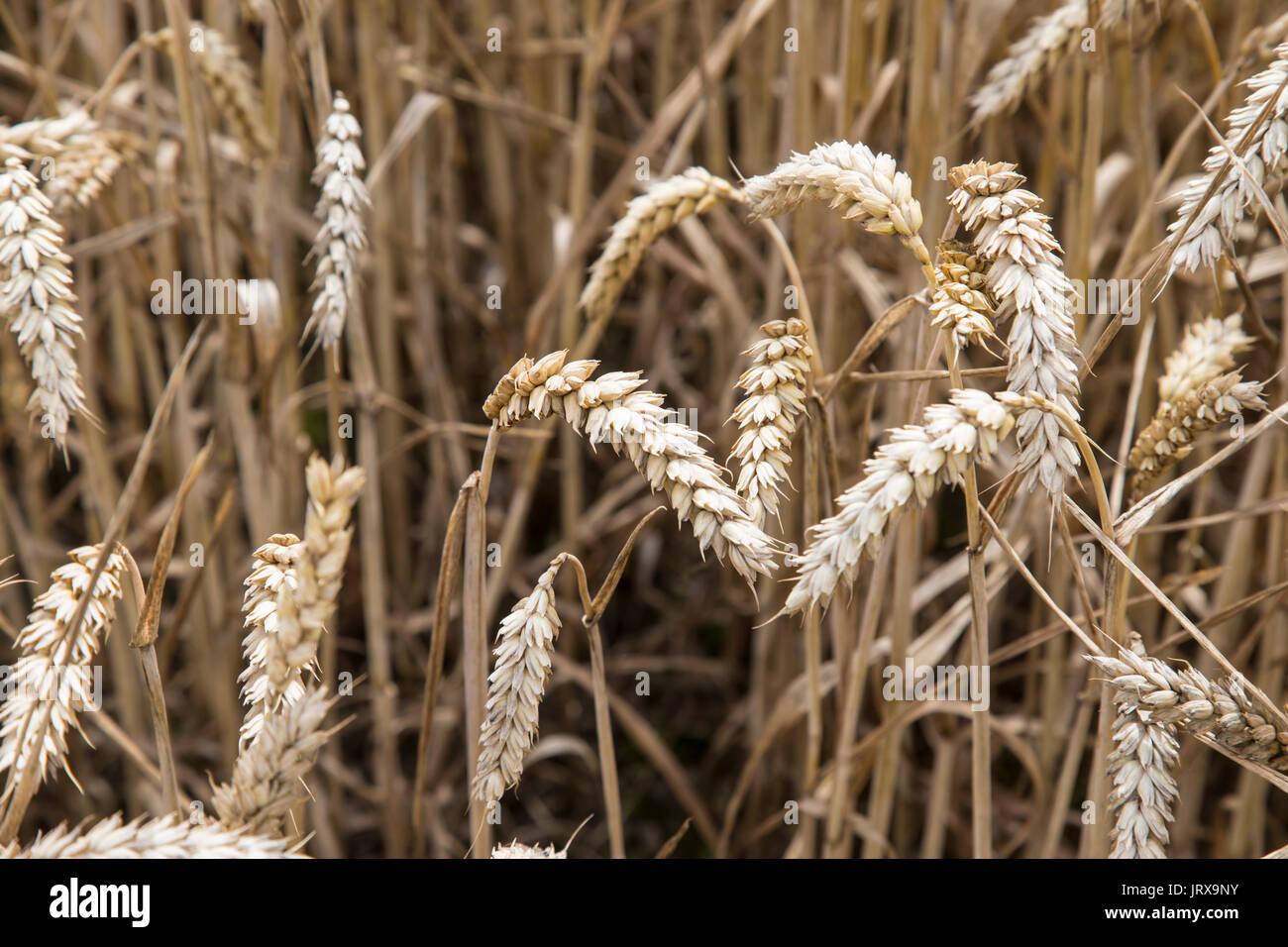 In der Nähe der Ohren von Weizen in einem Maisfeld Stockbild
