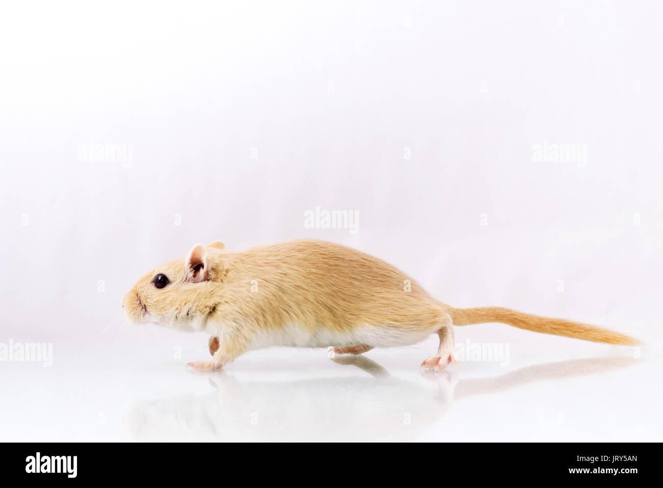 Flauschige kleine Nager rennmaus auf weißem Hintergrund Stockbild