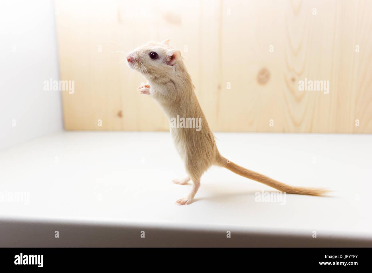 Flauschige baby Der rennmaus auf neutralem Hintergrund Stockbild