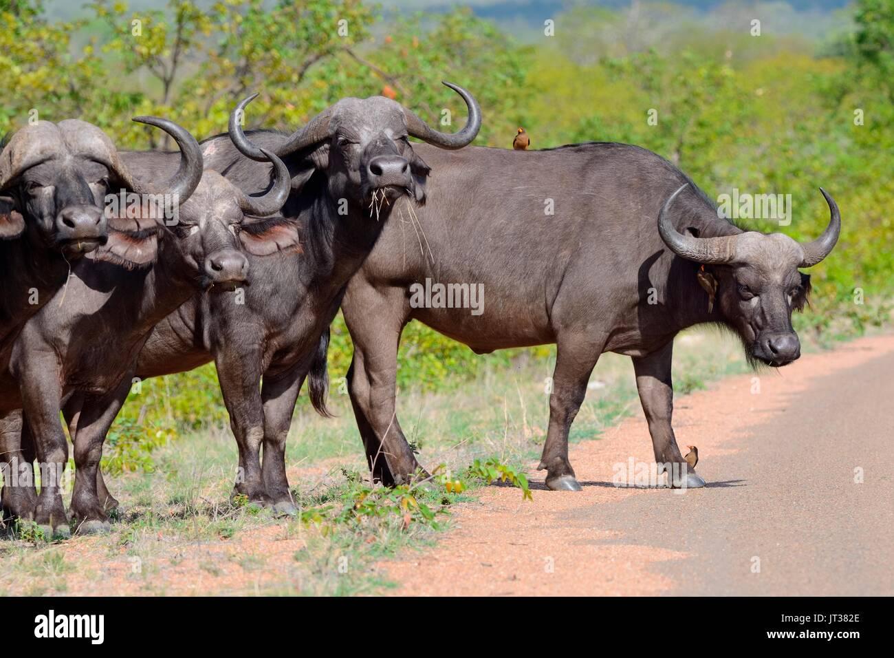 Afrikanischer Büffel (Syncerus Caffer) stehen in der Zeile durch die Seite der asphaltierten Straße mit Red-billed oxpeckers, Krüger Nationalpark, Südafrika, Afrika Stockbild