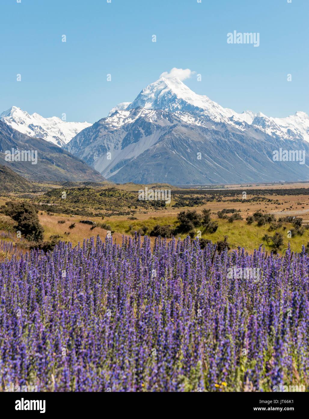 Blüte lila Blumen, Mount Cook, Snowy Mountains, Mount Cook National Park der südlichen Alpen, Canterbury, Südinsel Stockbild