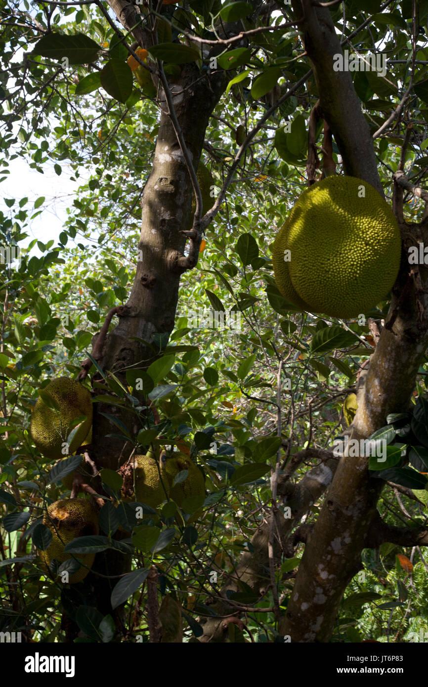Brotfrucht wachsenden Dschungel rumassala Hügel der südlichen Provinz Sri Lanka Stockbild