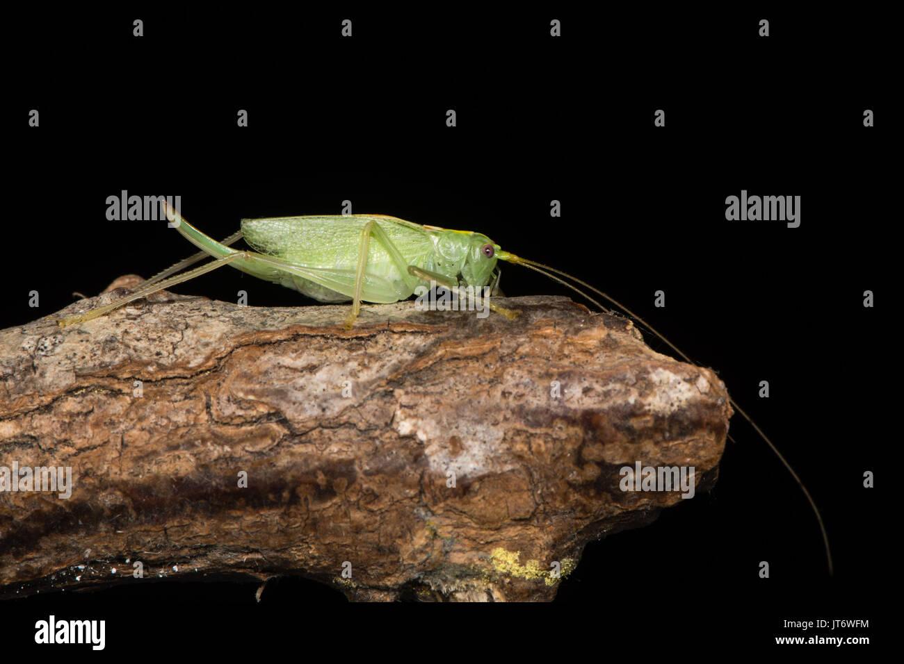 Eiche Bush - Kricket (Meconema thalassinum) im Profil. Nach britischen Kricket in der Familie Tettigoniidae, Ordnung Orthoptera, gegen Schwarze Stockbild