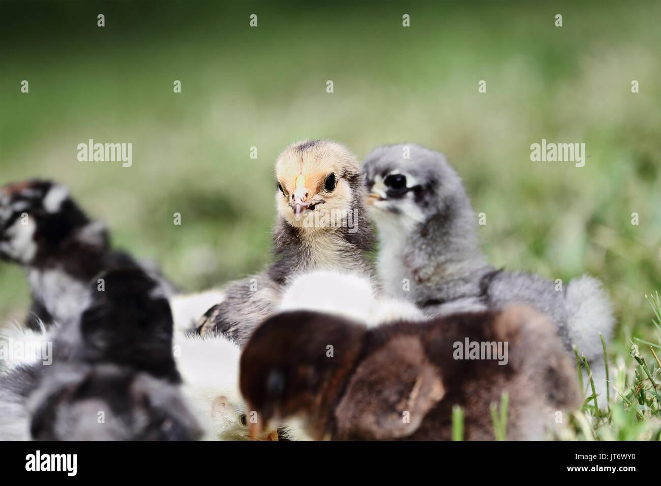 Baby Buff Brahma Küken sich angefangen mit anderen Mixed Chicks draußen im Gras. Extrem flache Tiefenschärfe mit selektiven Fokus auf dem Brahma fac Stockbild