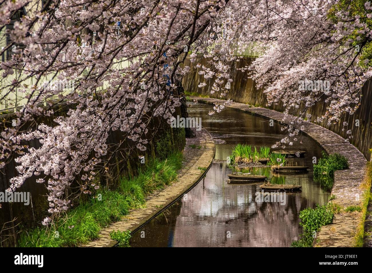 ein friedlicher ort unter der kirschbl te in japan zu. Black Bedroom Furniture Sets. Home Design Ideas