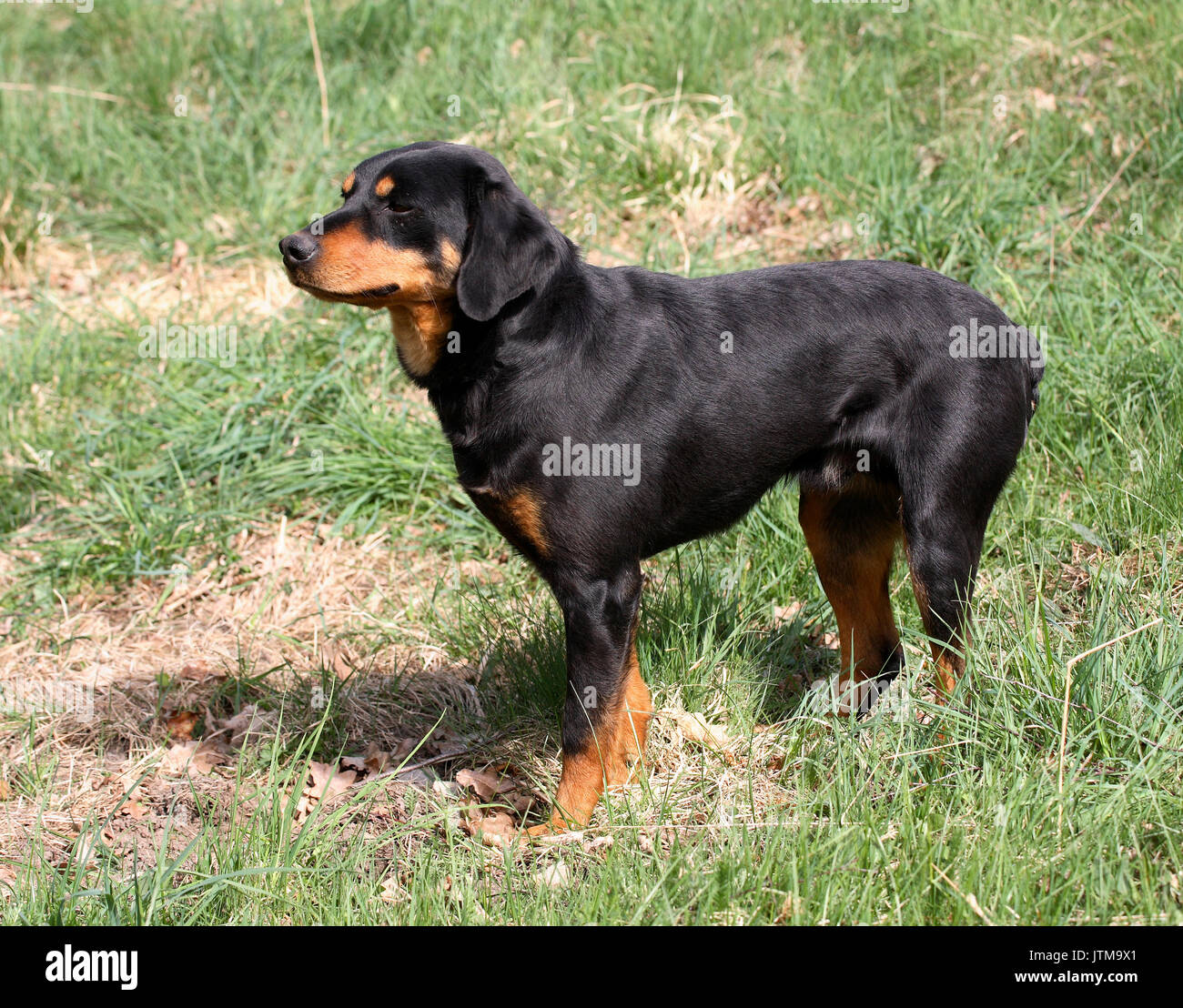Smaland Hund Auto Hund für die Jagd auf Hase und Fuchs Stockbild