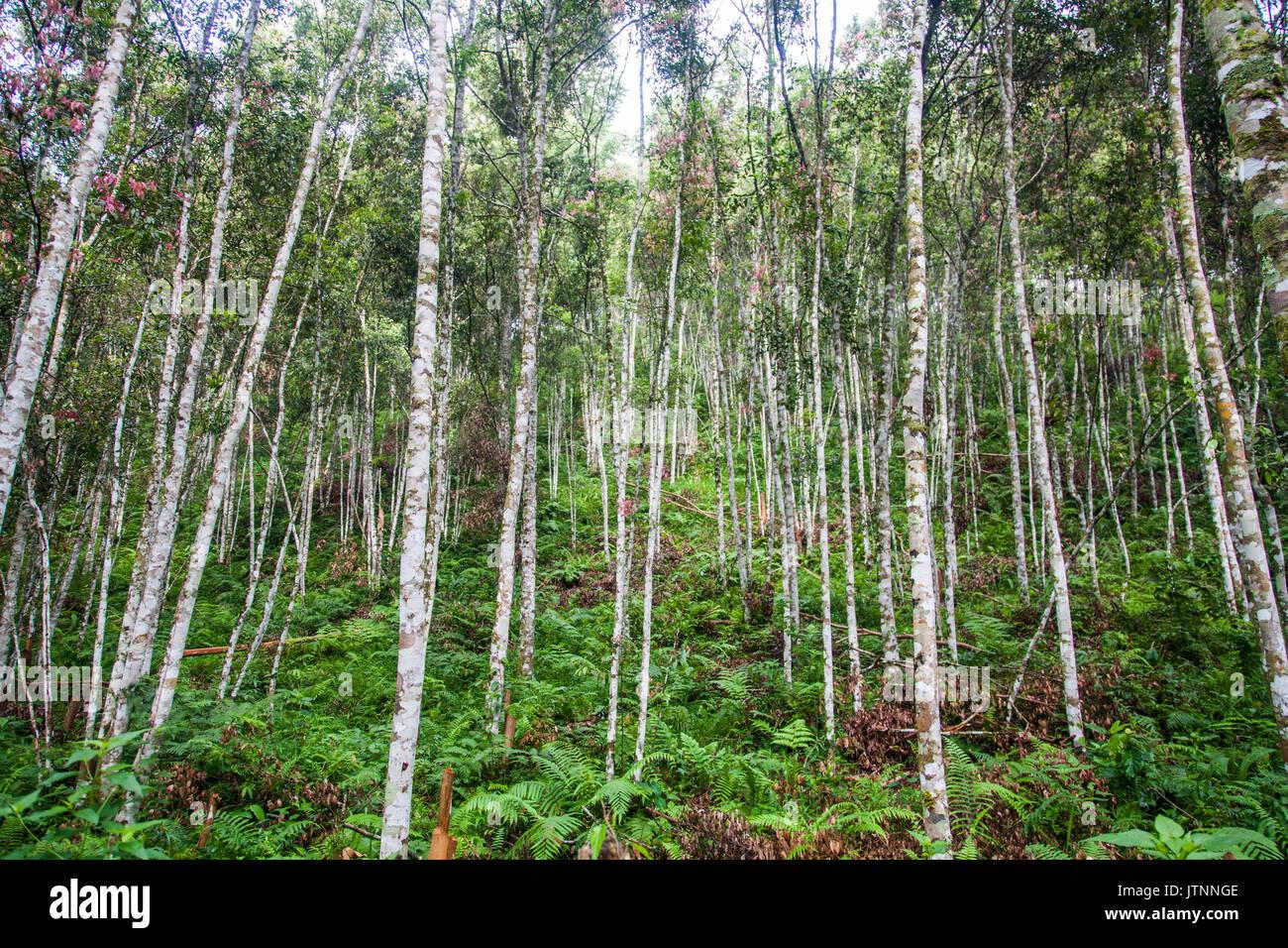 Zimtbaume Stockfotos Und Bilder Kaufen Alamy