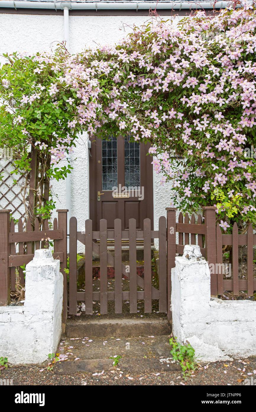Clematis mit rosa Blumen & Emerald Laub wächst über Torbogen/Gitter ...