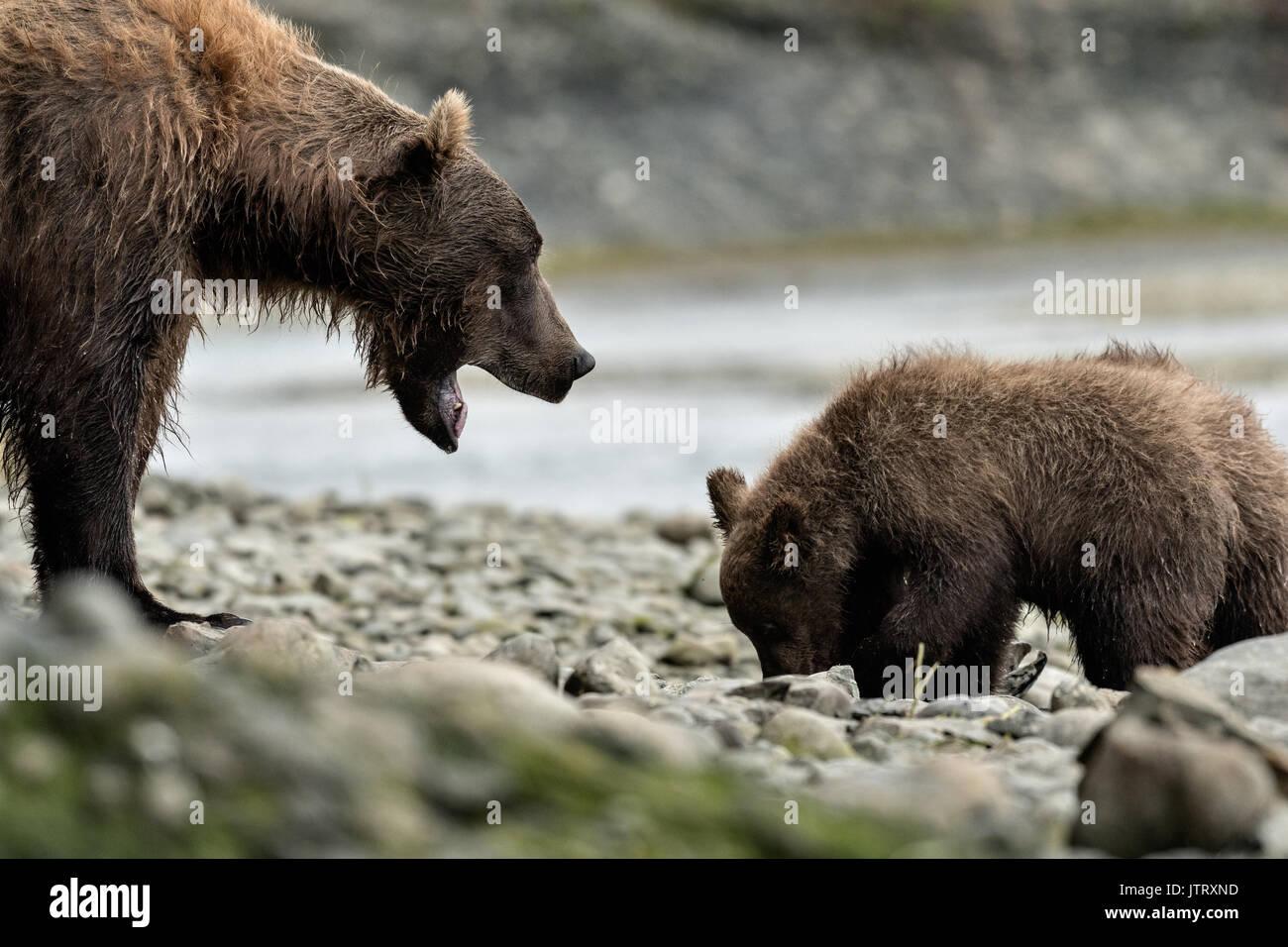 Ein Braunbär sow als bärtige Lady bekannt schmollt eine Warnung Lärm zu ihren Jungen Fütterung auf Lachs am McNeil Stockfoto