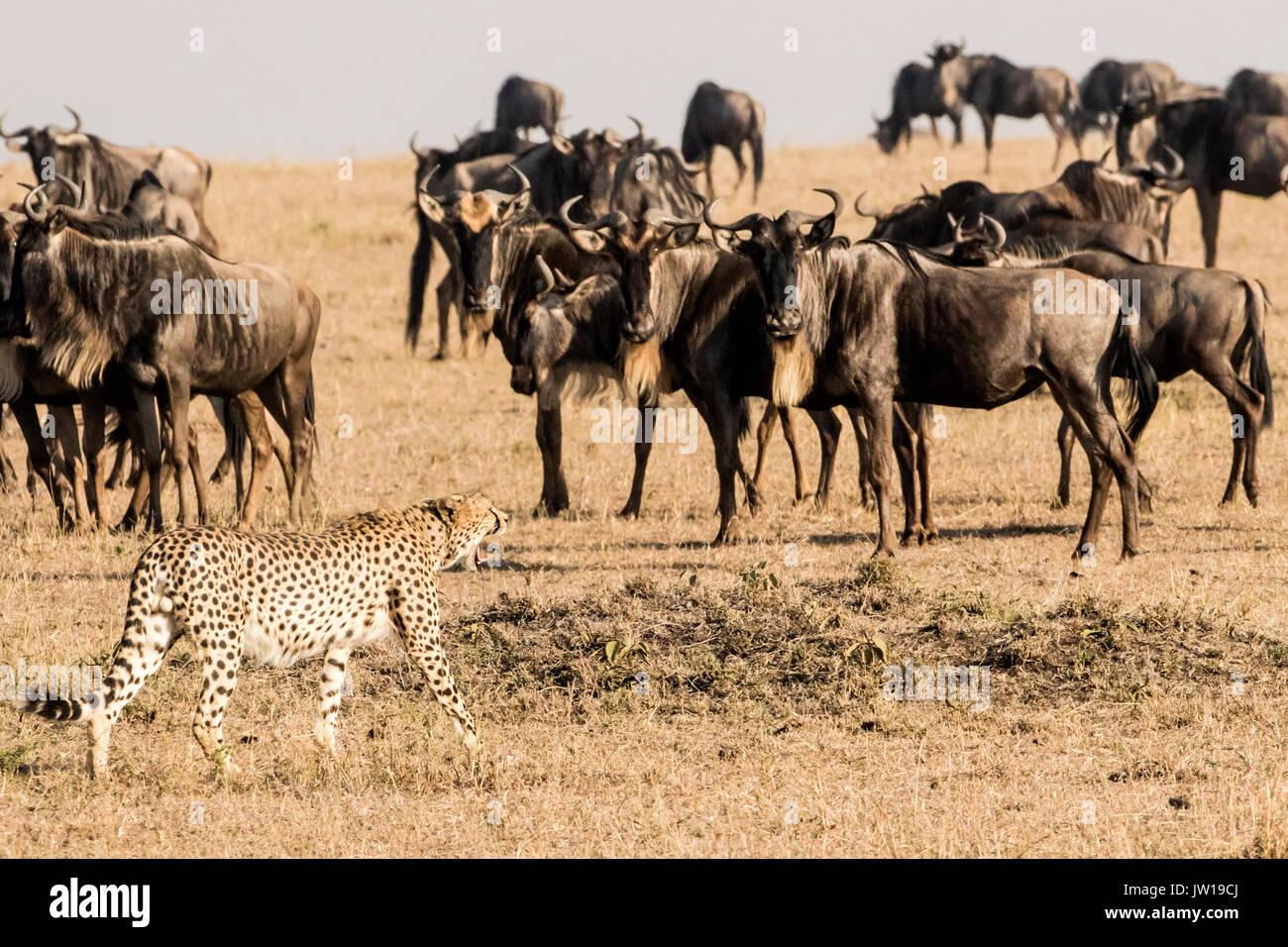 Gepard (Acinonyx jubatus) Gnus connochaetes Taurinus) konfrontieren ( Stockbild