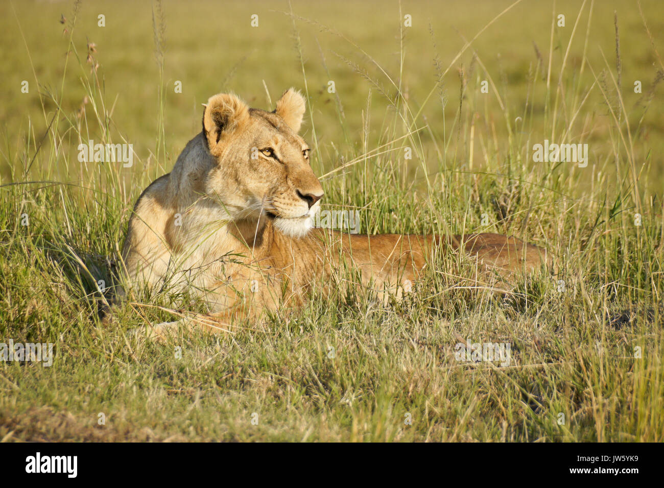 Löwin starrte, Masai Mara, Kenia Stockbild