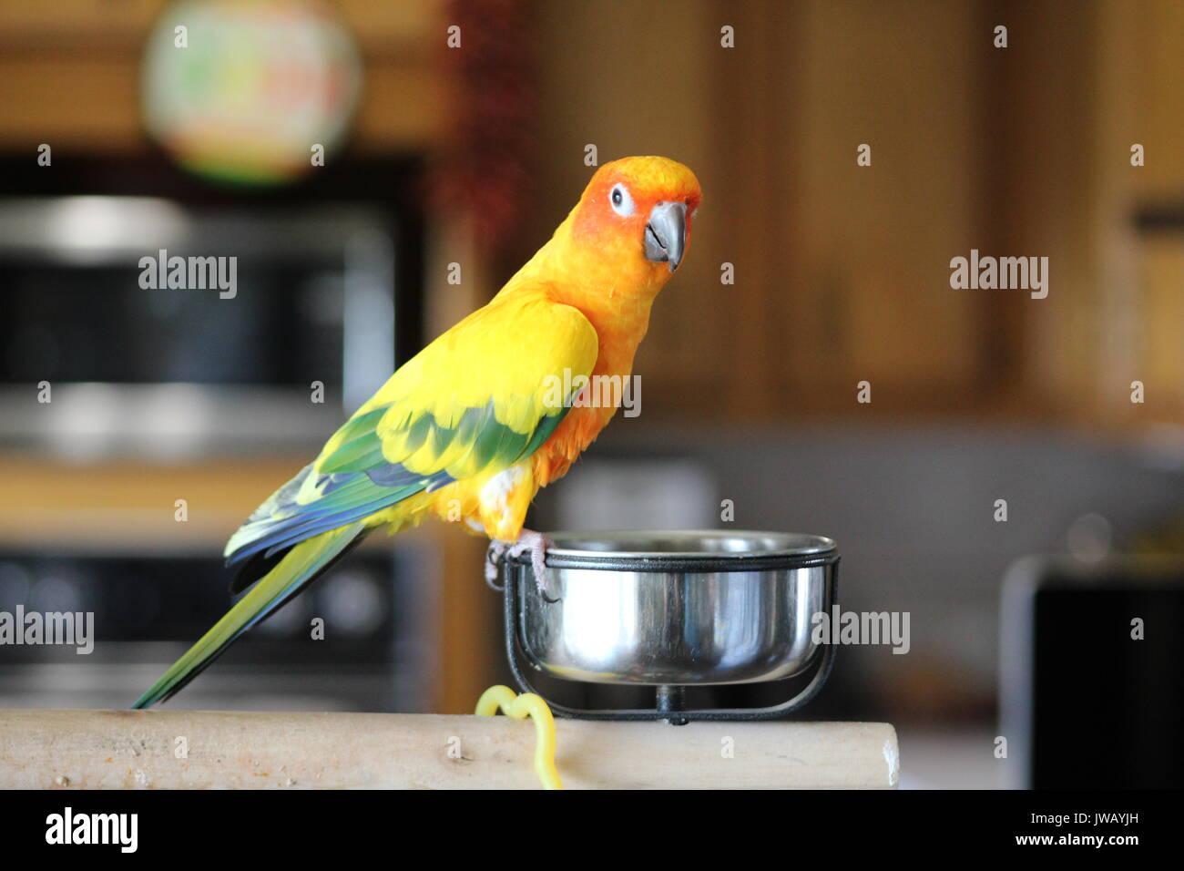 olivgrüner papagei