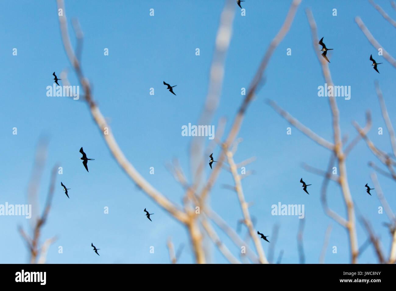 Viele Fregatte Vögel fliegen vor einem blauen Himmel und sind durch die Äste eingerahmt. Stockbild