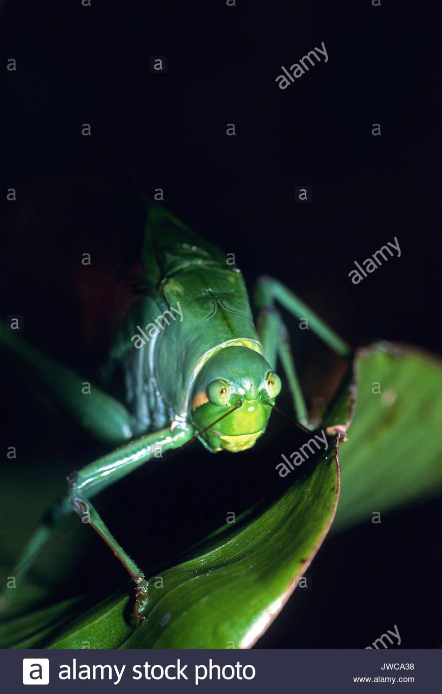 Nahaufnahme, Porträt einer katydid, tettigoniidae. Stockbild