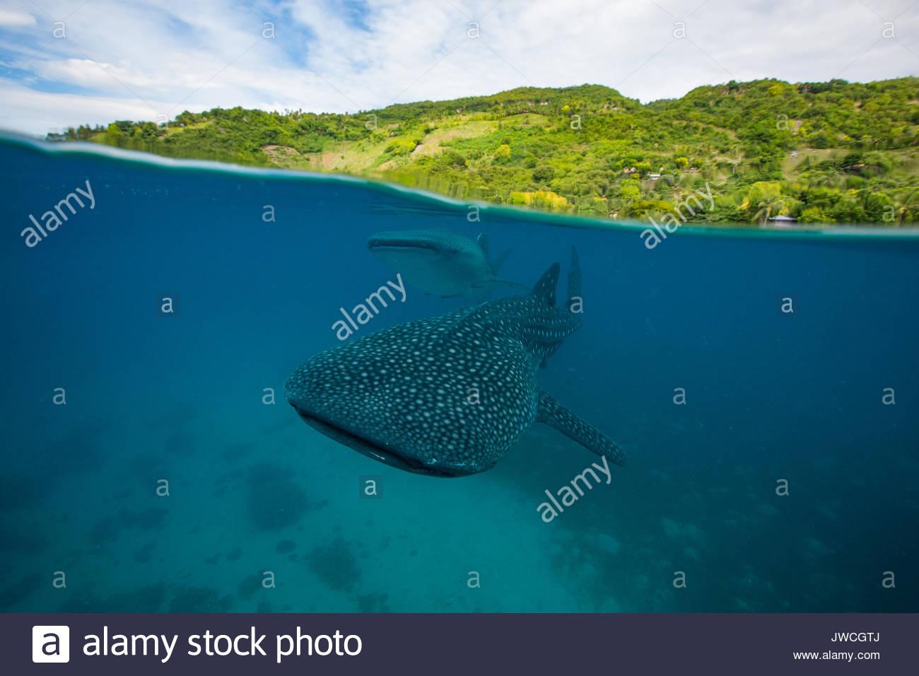 Zwei Walhaie schwimmen durch knapp unter der Oberfläche. Stockbild