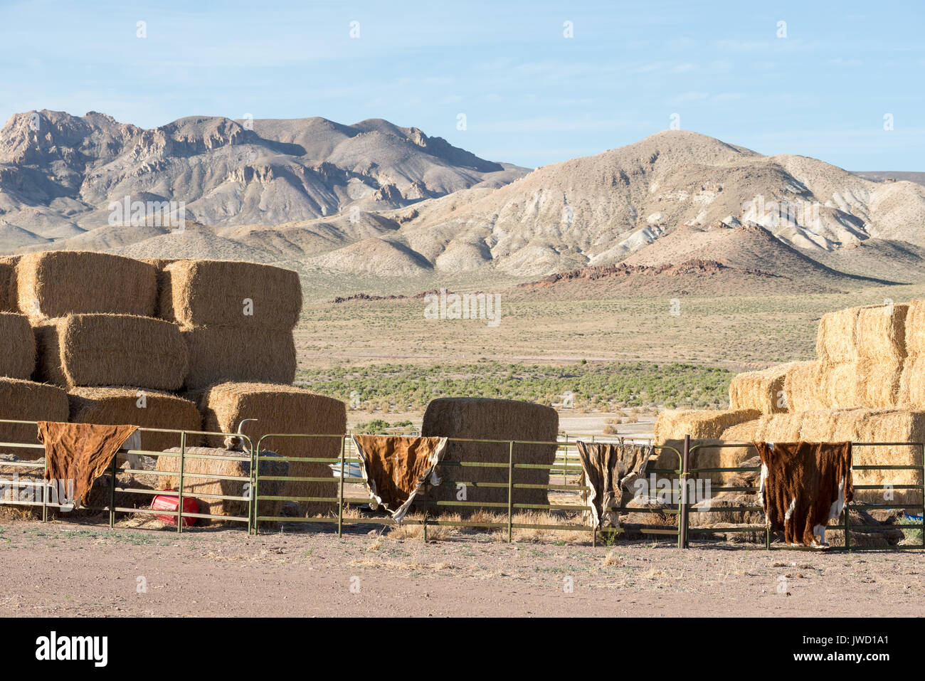 Kuhhäute trocknen auf Panels auf einer Ranch in der Wüste von Nevada corral. Stockbild
