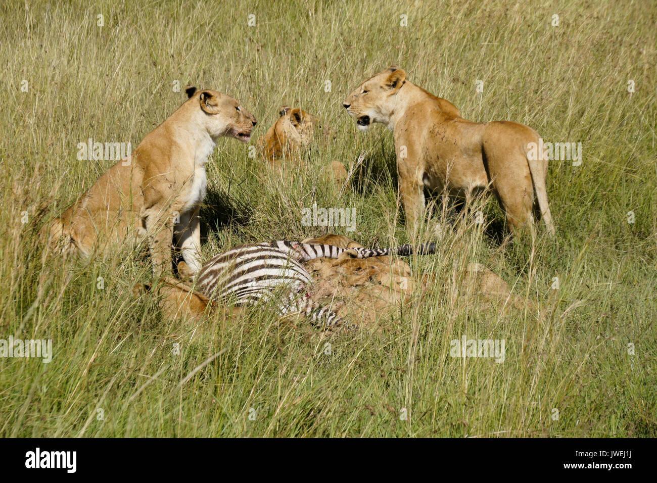 Lion's Pride (Weibchen und Jungtieren) auf einem Zebra töten am Mittag, mit Fliegen, Masai Mara Game Reserve, Kenia Stockbild
