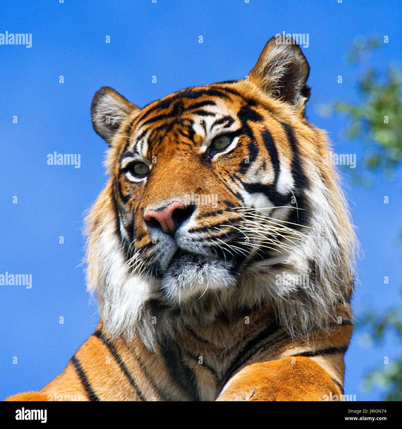 Sumatra-Tiger Stockbild