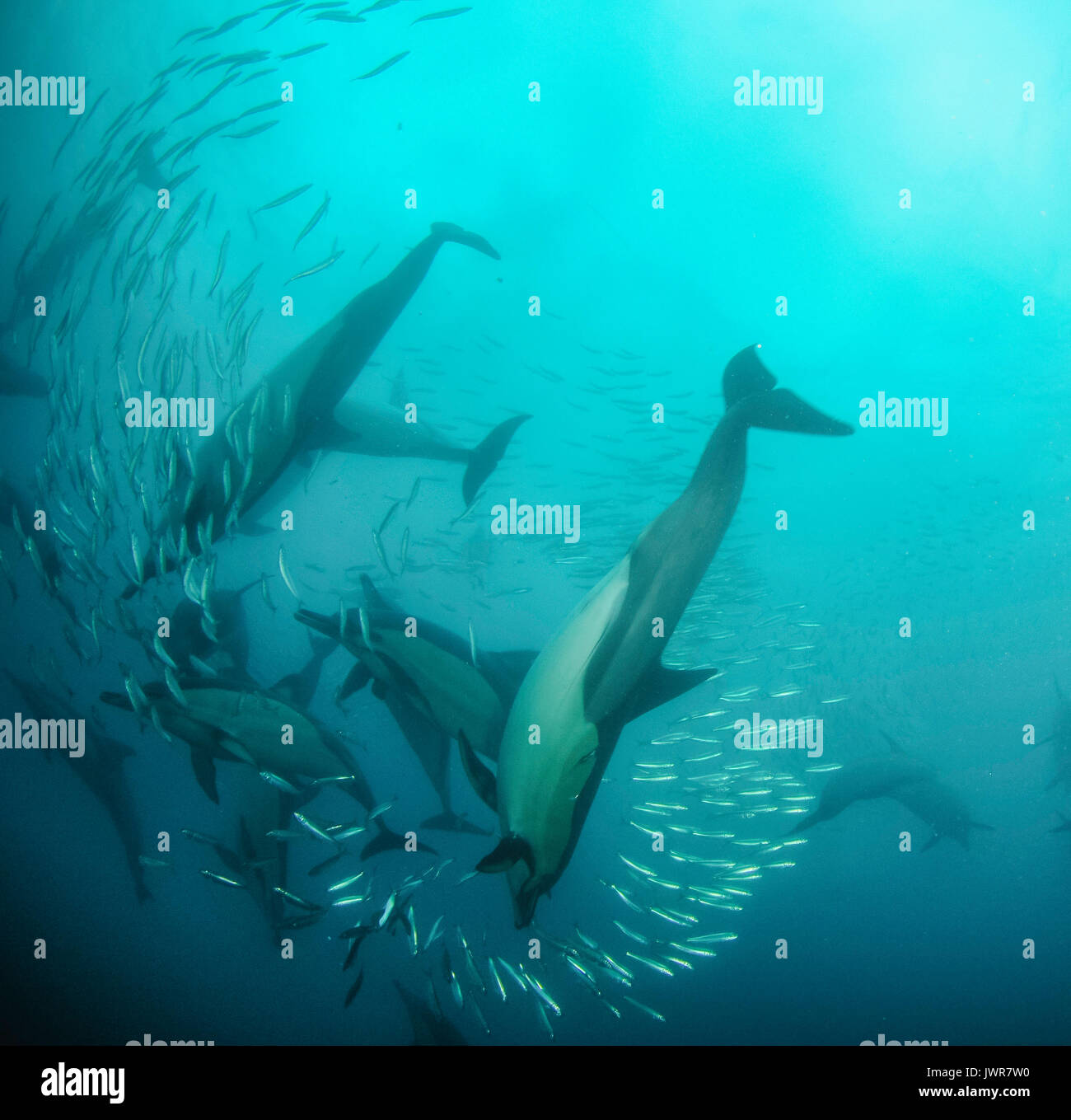 Pod der Gemeine Delfine füttern Sardinen während der jährlichen Sardine Run an der Ostküste von Südafrika. Stockbild
