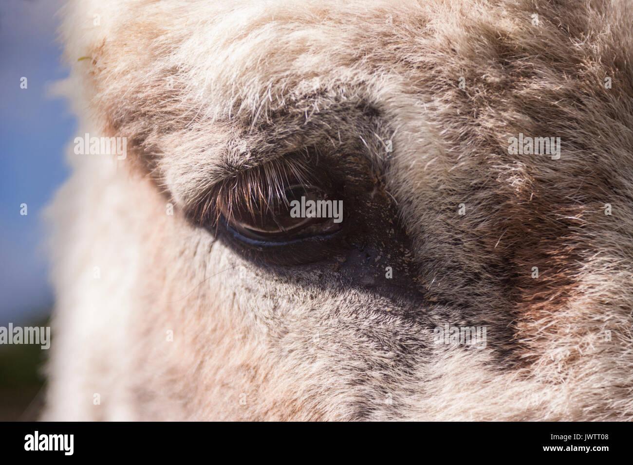 Nahaufnahme des Auges eines Esels in Sidmouth Donkey Sanctuary Stockbild