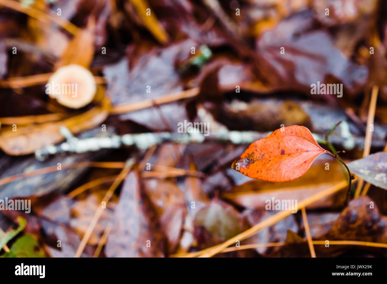 Flache Tiefenschärfe mit Fokus auf ein Blatt auf dem Waldboden nach einem Herbst regen. Gefallenen Blätter sind unscharf im Hintergrund. Stockbild