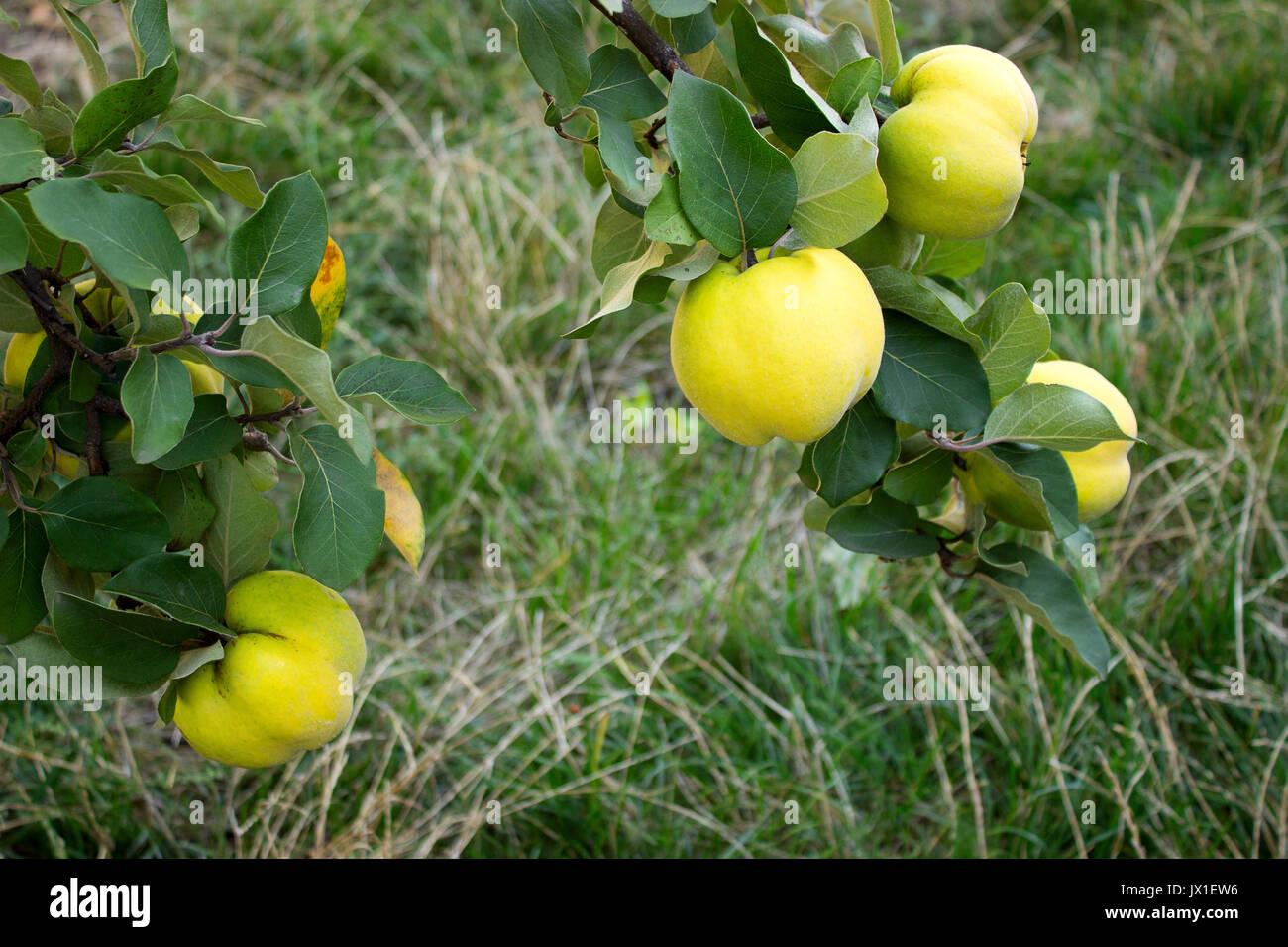 Quitten. Zweige mit Früchten der Quitte. Stockbild