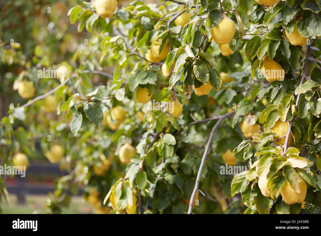 Schwere Lasten Quitte Baum mit reifen Früchten Stockbild