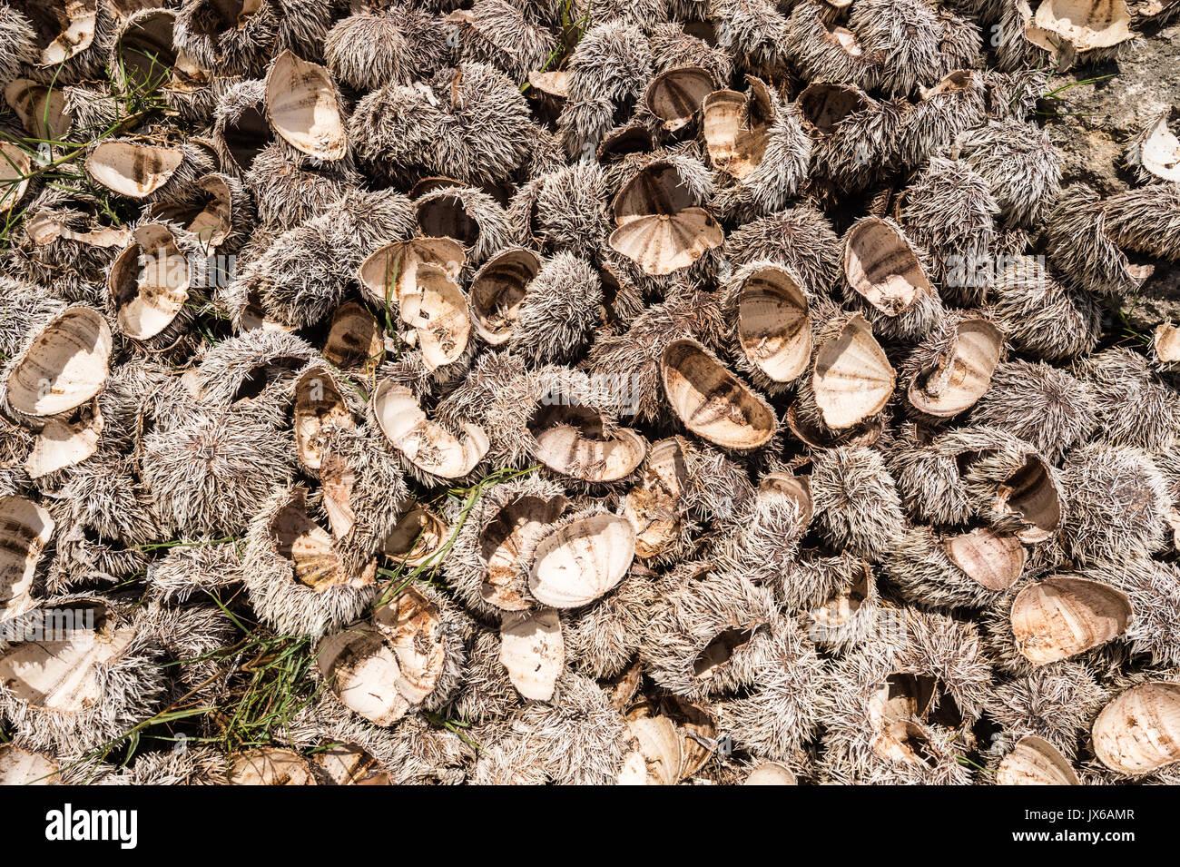 Viele Seeigel Muscheln am Strand nach links Stockbild
