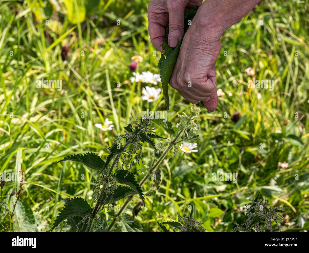 Reife lady Reiben ein Dock Blatt auf der Hand von geizig Nesseln in einem Feld gestochen werden Stockbild