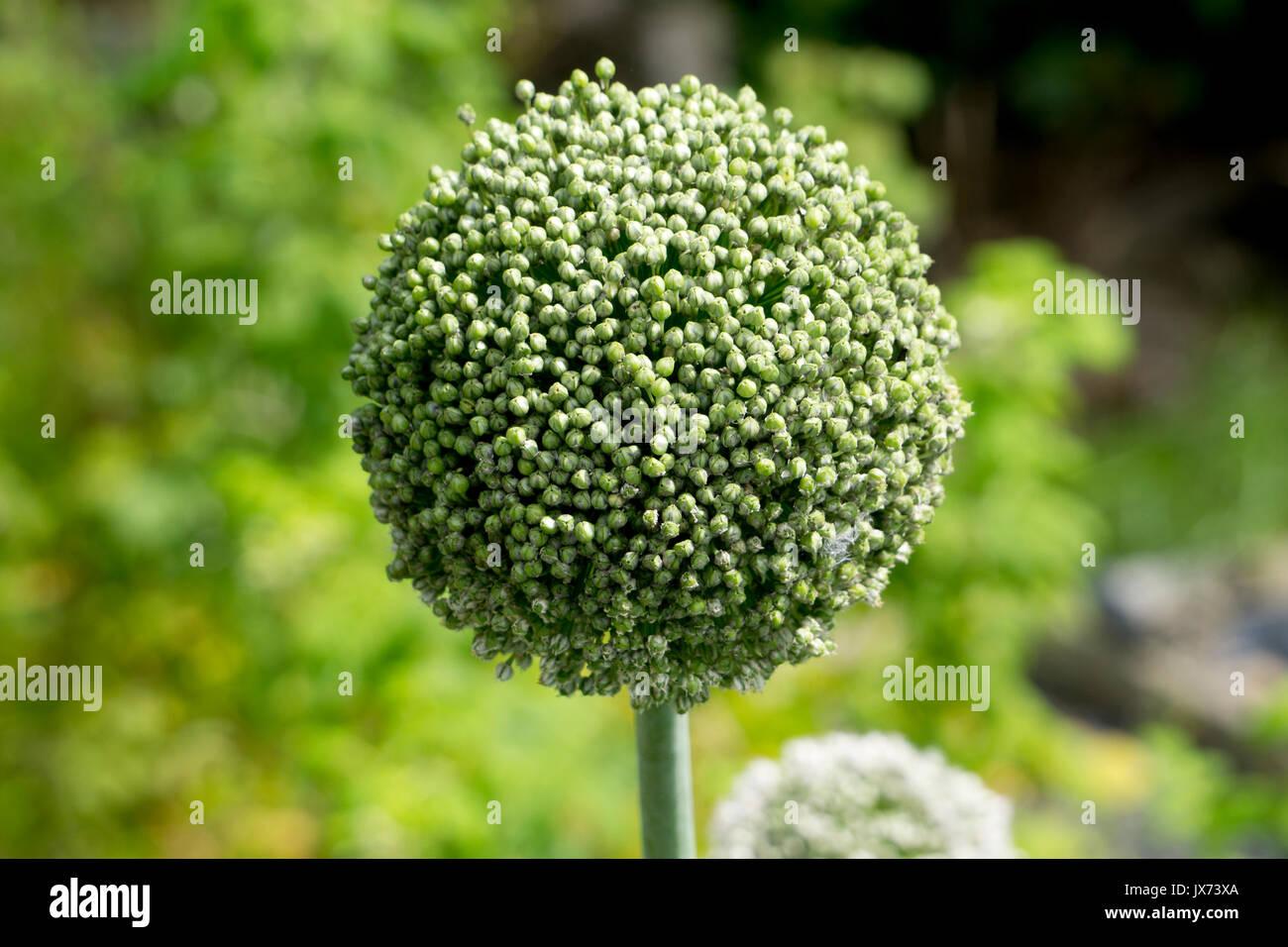 Zwiebel, Allium cepa Saatgut Stockbild
