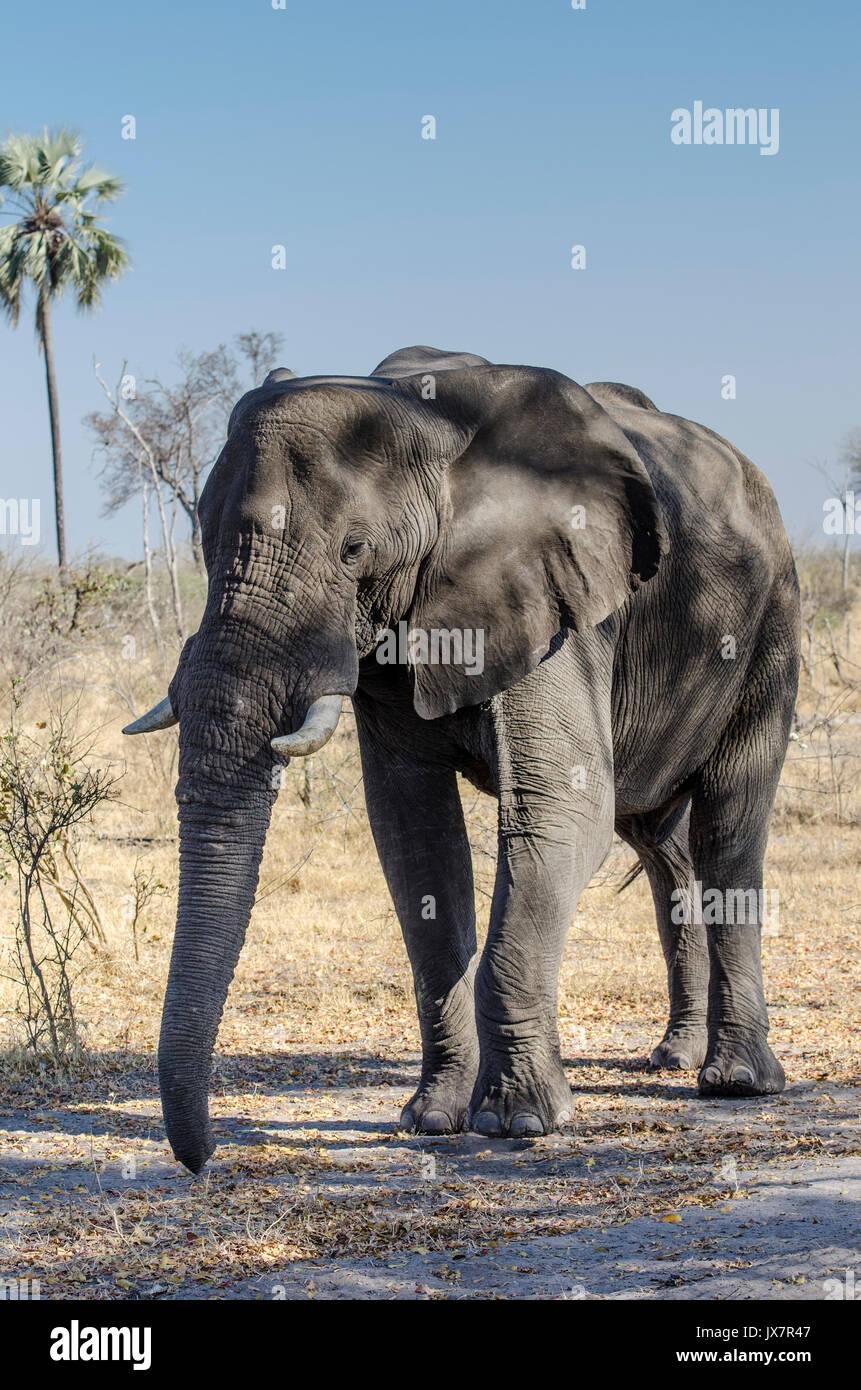 Afrikanischer Elefant, Loxodonta africana, im linyanti Wildlife Reserve im Norden Botswanas. Stockbild