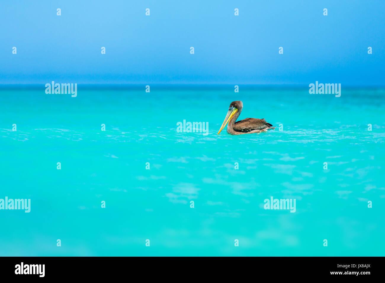 Juvenile Braunpelikan schwimmend auf einem türkisfarbenen Karibischen Meer am Eagle Beach, Aruba Stockbild