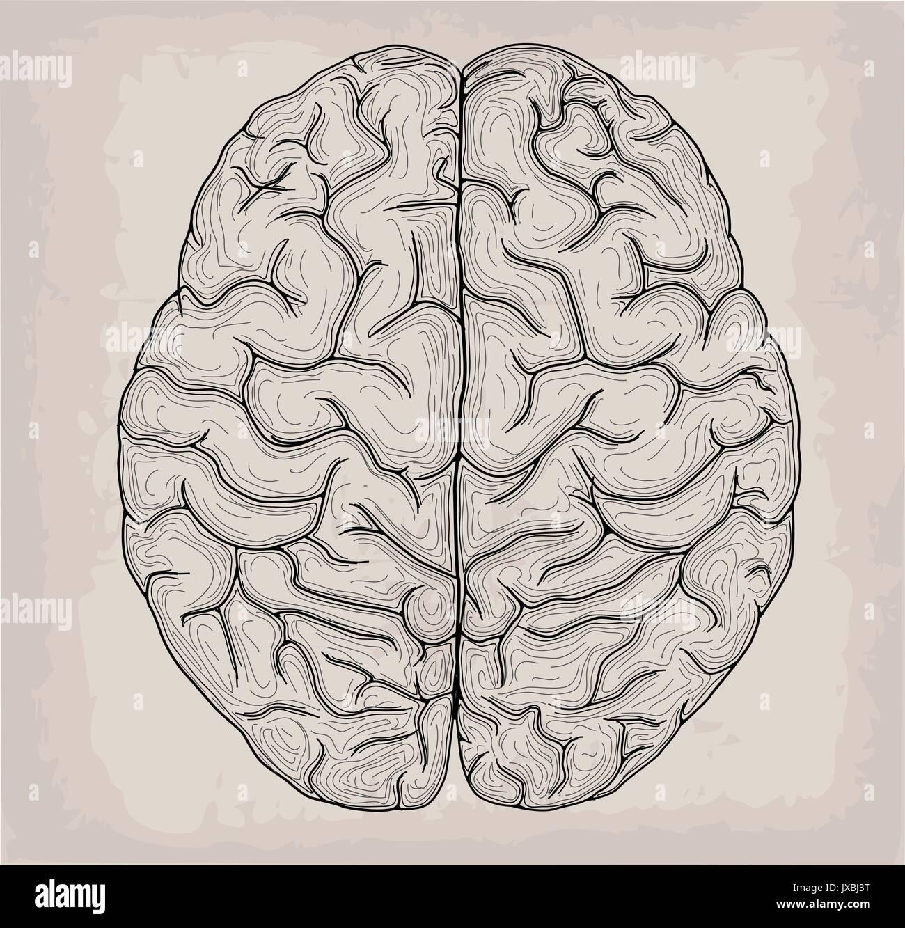 Anatomische Gehirn Hand gezeichnet Orgel Skizze. Medizin, Vector ...