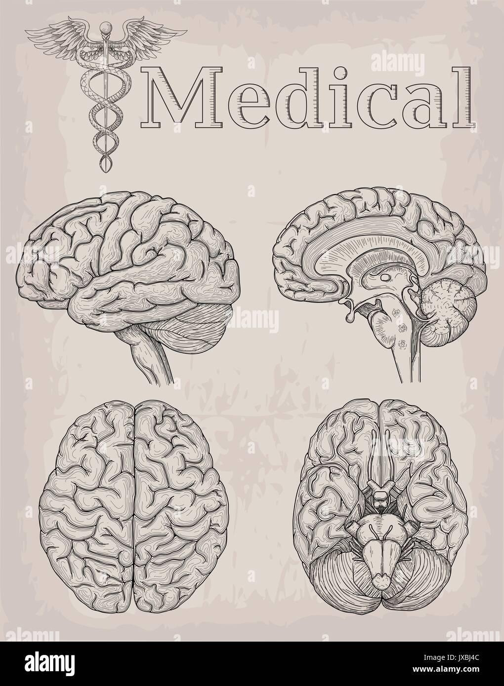 Anatomische Gehirn Orgel Abbildung. Medizin, Vector Illustration ...