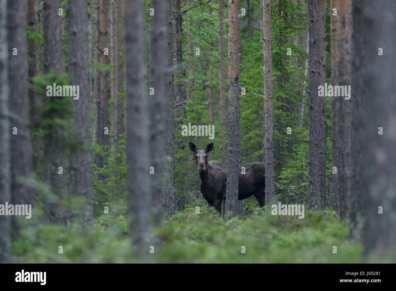 Elche in einem schwedischen Wald Stockbild