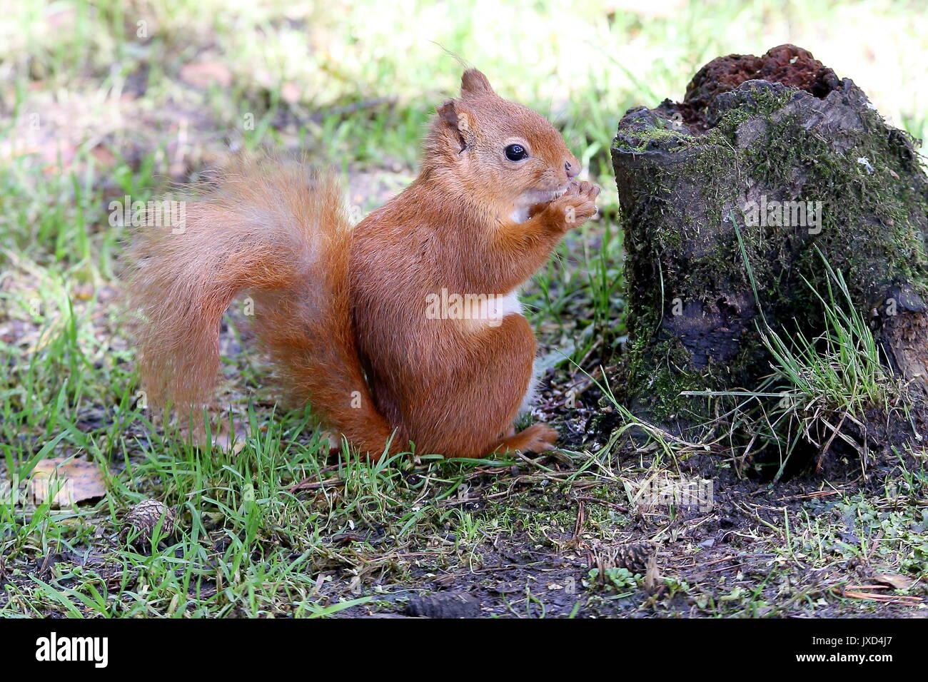 drey squirrel stockfotos drey squirrel bilder alamy. Black Bedroom Furniture Sets. Home Design Ideas
