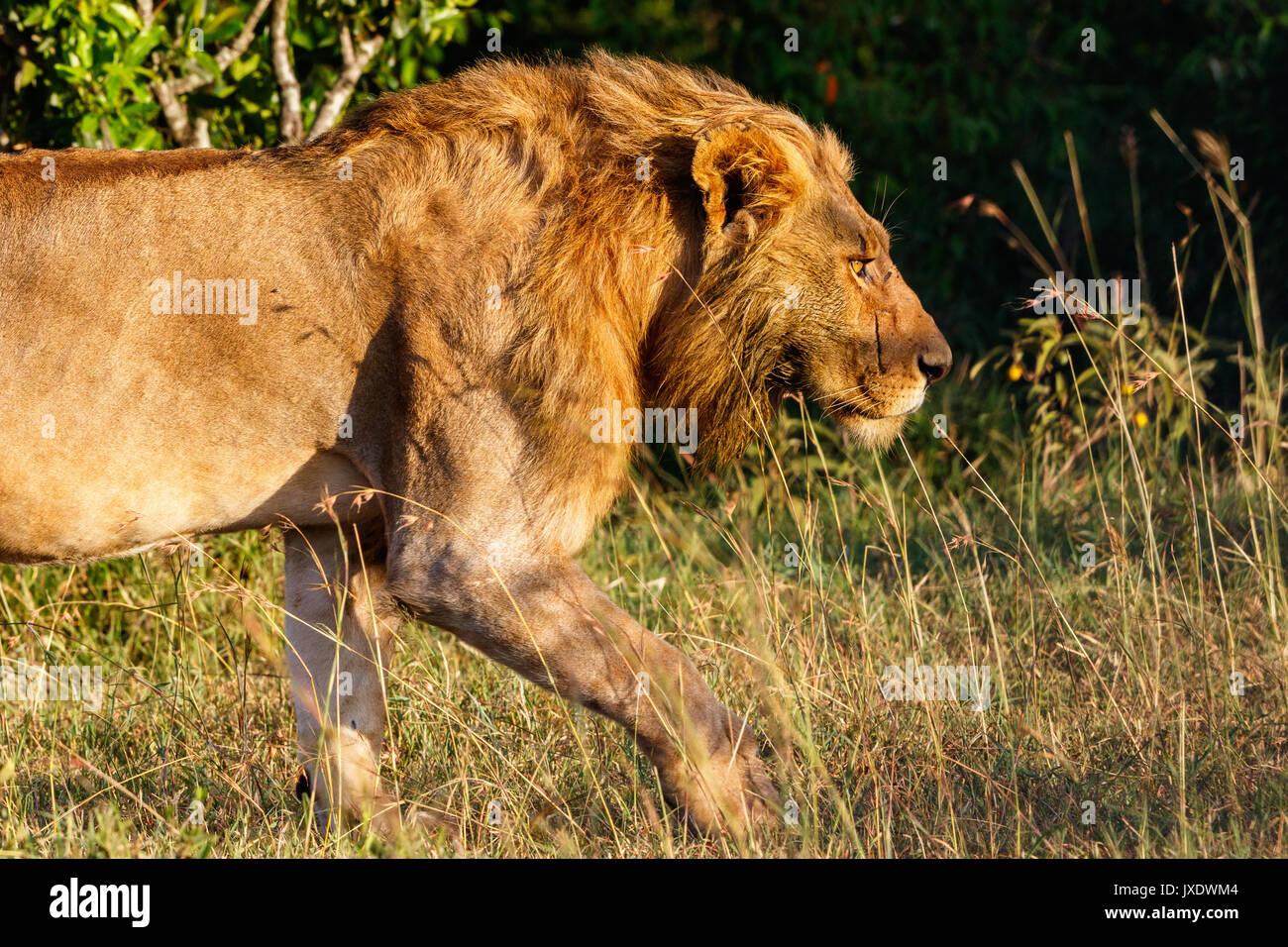 Männliche Löwe im Gras schleichen Stockbild