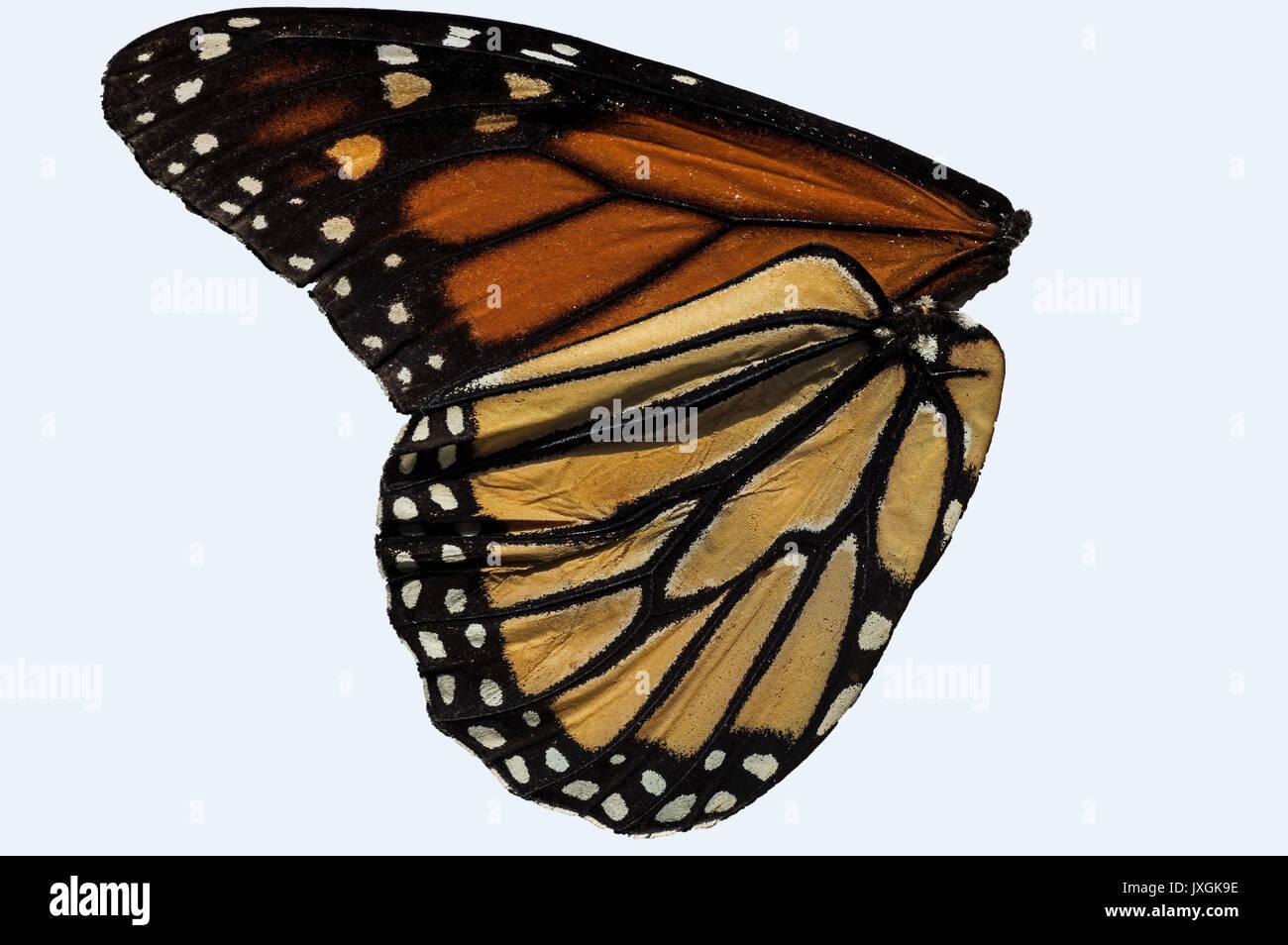 Monarch Butterfly Wing. Es ist ein milkweed Butterfly in der Familie der Nymphalidae. Stockbild