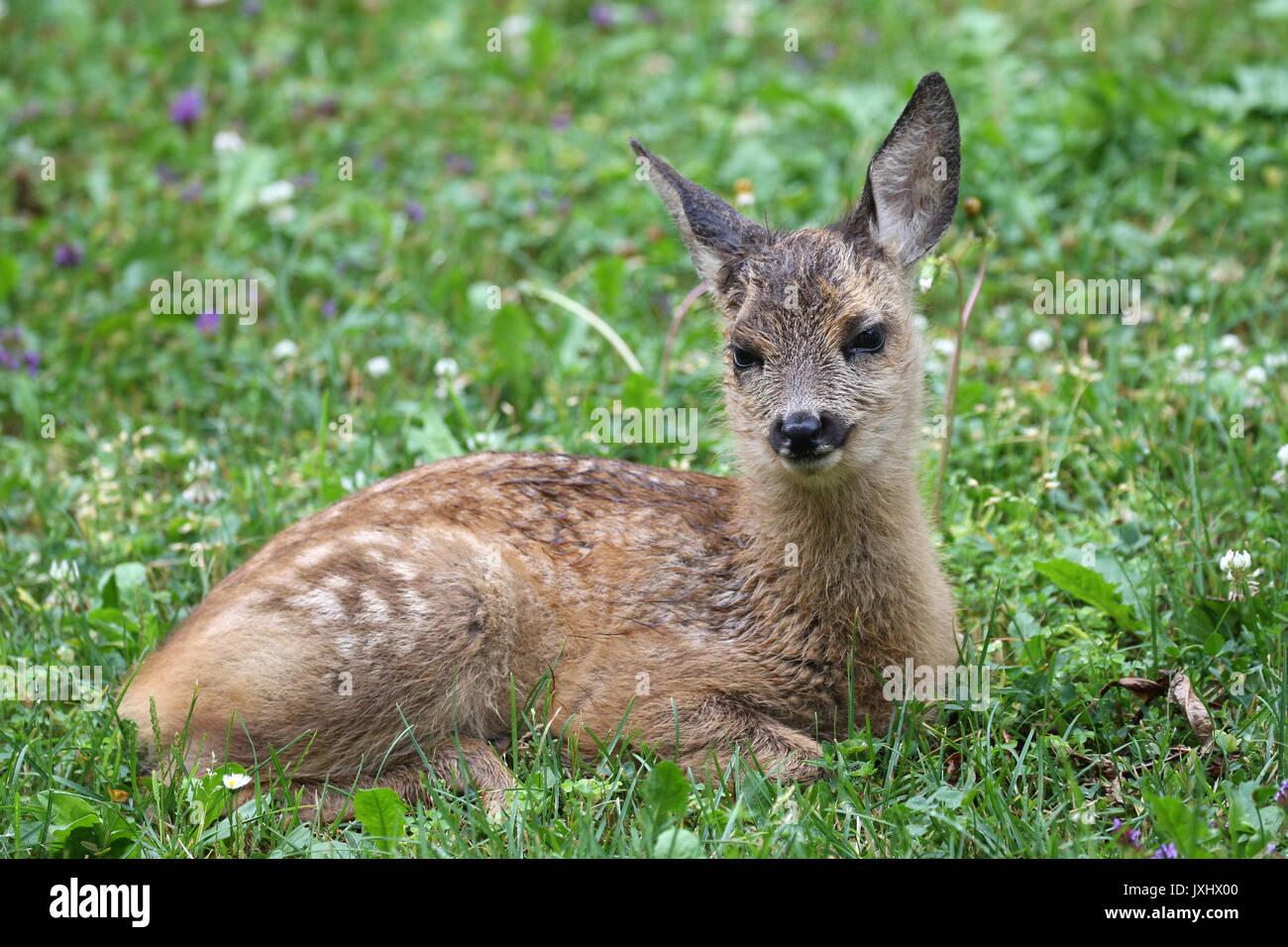 Reh (Capreolus capreolus), Fawn, fünf Wochen alt und liegt in der Wiese, Allgäu, Bayern, Deutschland Stockbild