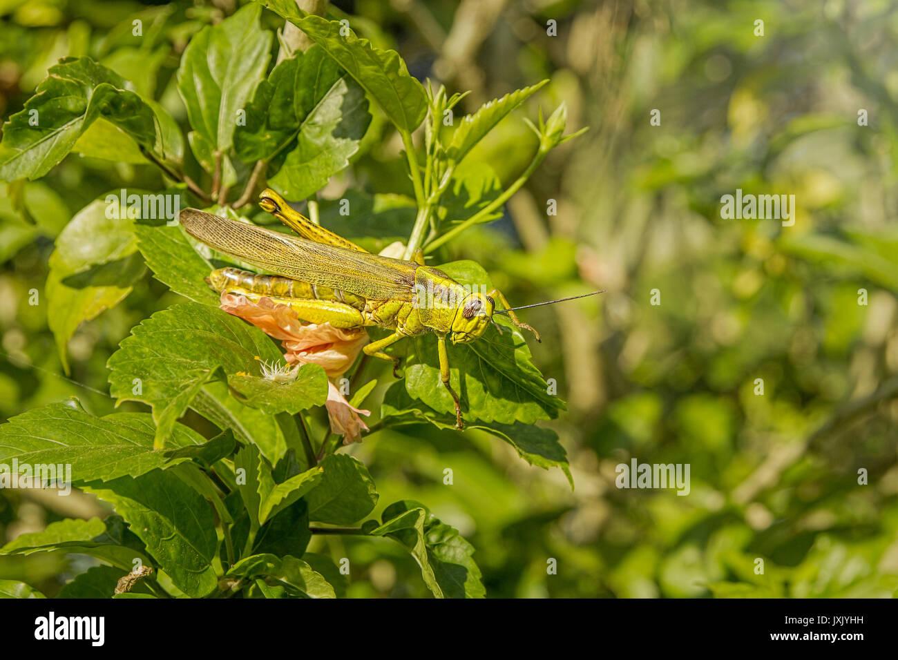 Grüne Heuschrecke Mischung in den Blättern Stockfoto