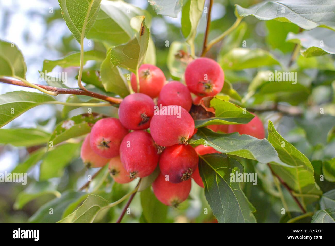 Top Kleine Äpfel Früchte auf die Äste von Apfelbäumen in Kanada #HB_63