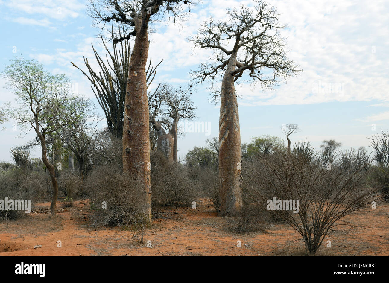 Madagaskar stacheligen Wald ist einen einmaligen Lebensraum zu Madagaskar mit praktisch jeder Komponente sowohl pflanzlichen und tierischen Arten endemisch auf der Insel. Stockbild