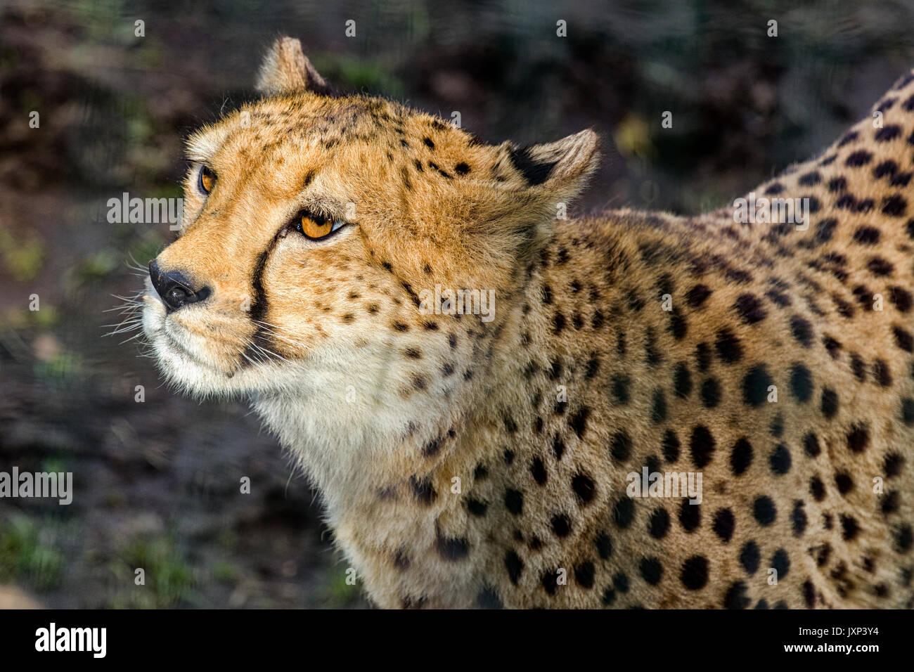 Close up Kopfschuss Portrait von Geparden (Acinonyx jubatus) im schönen dappled Licht im Freien Model Release: Nein Property Release: Nein. Stockbild