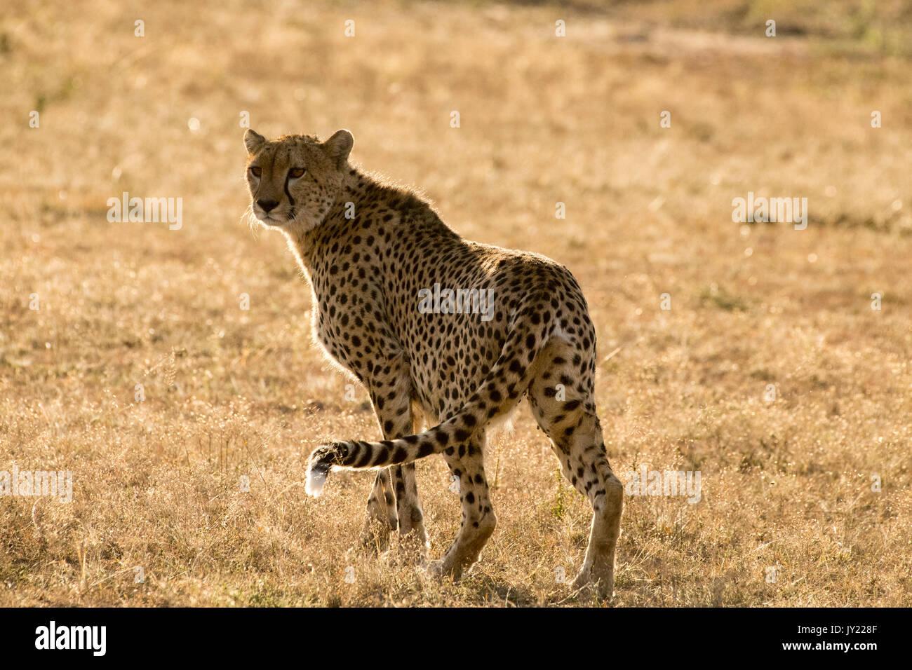Gepardin wandern in der Masai Mara in Kenia Stockbild