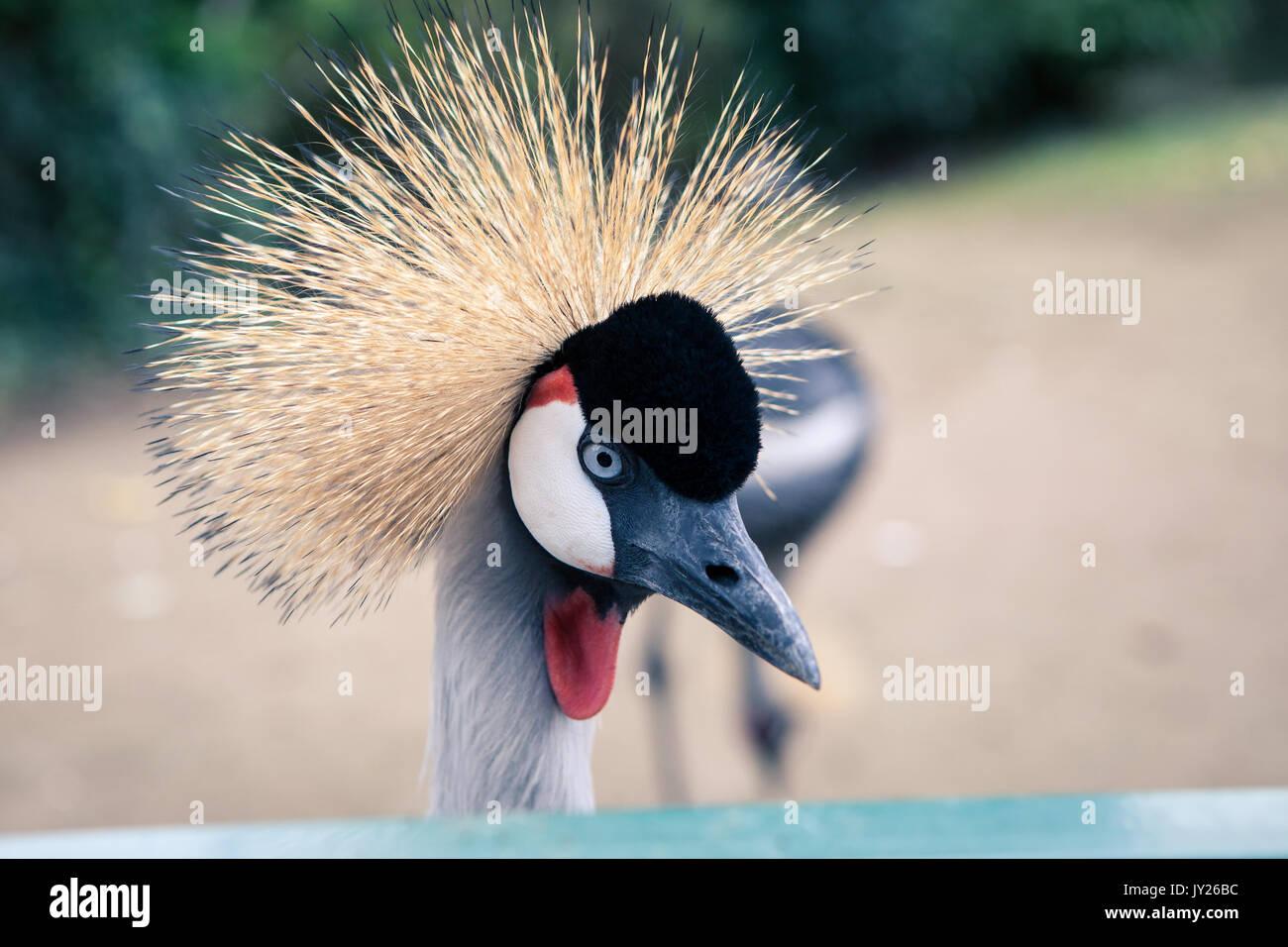 Schöne gekrönter Kran mit blauen Augen und roten Akazie Stockbild