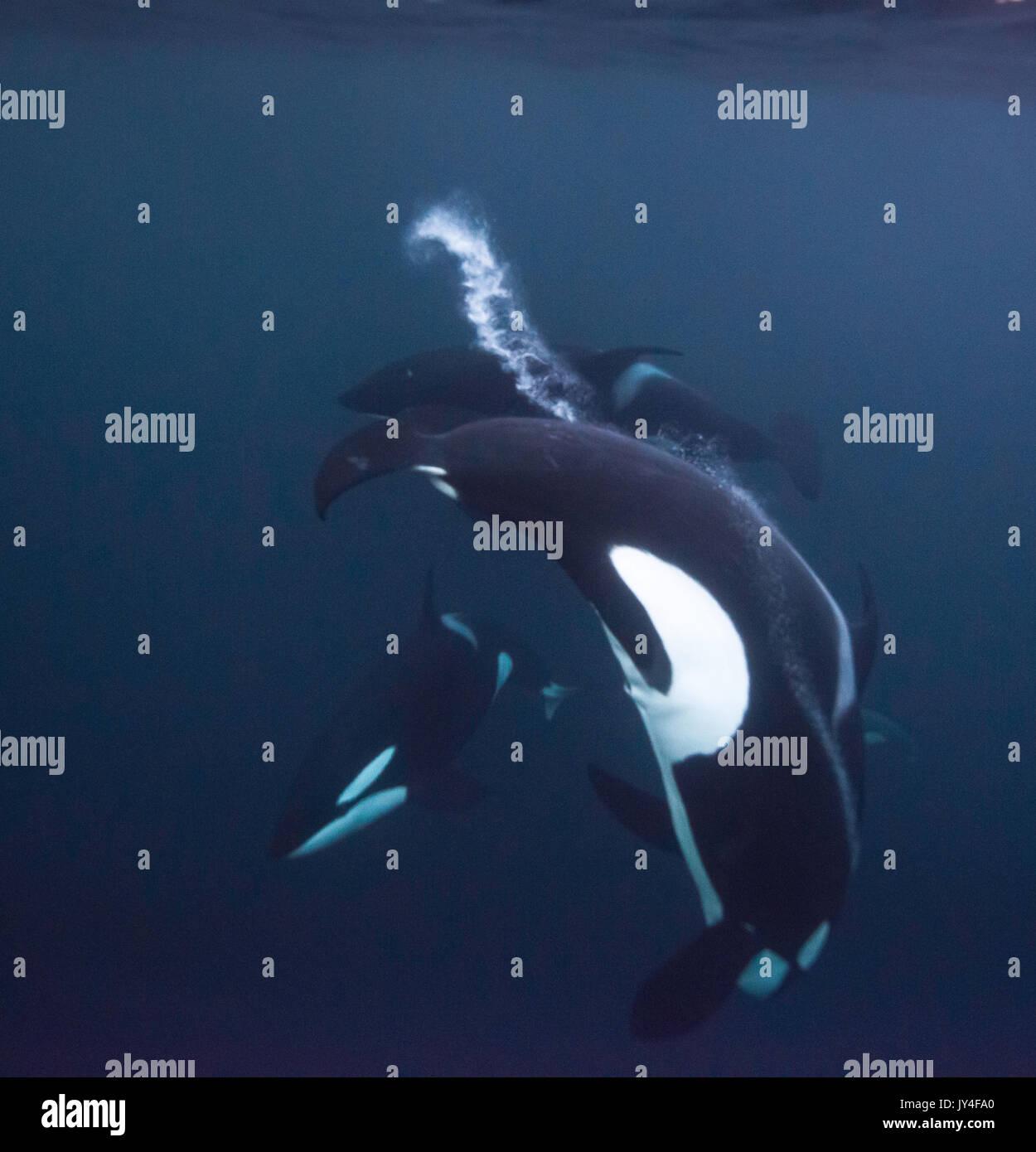 Pod von Orcas vor der Kamera Unterwasser, Gryllefjord, Norwegen spielen. Stockbild