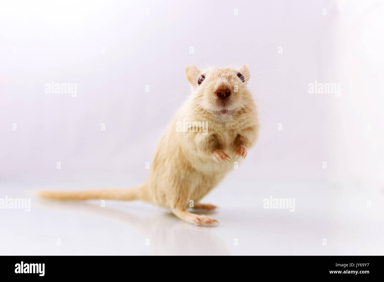 Flauschige kleine Nager rennmaus auf weißem Hintergrund in der Kamera auf der Suche Stockbild