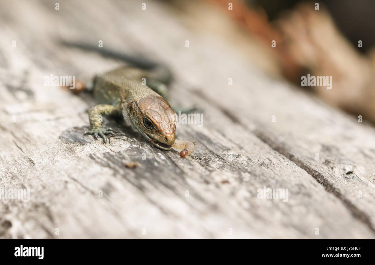 Ein Baby gemeinsame Eidechsen (Lacerta Zootoca Vivipara) Essen ein Insekt, dass es gerade gefangen hat. Stockfoto